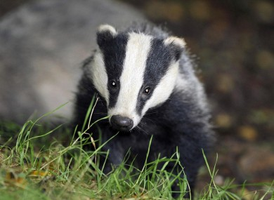 Badger Profile Habitats Directive